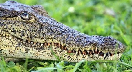 E thonë kërkuesit/ Ja çfarë fshihet pas lotëve të krokodilit